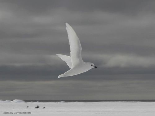 Snow_petrel_web