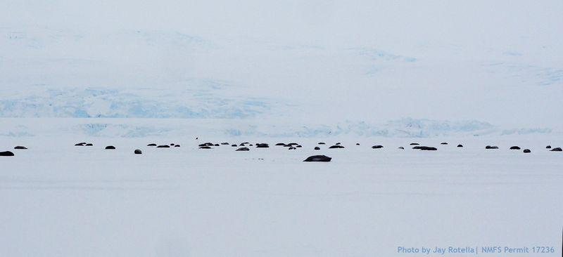 Hutton_cliff_colony_1st_yr_ice_2014