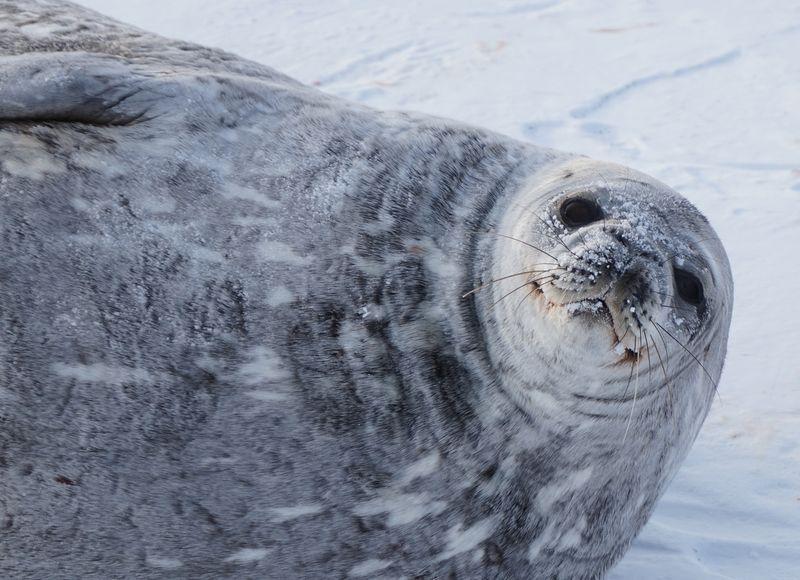 Seal-portrait-4