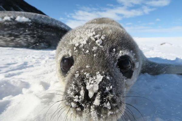 Sealpupface1