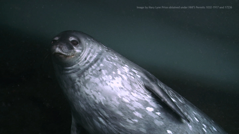Weddell_underwater1