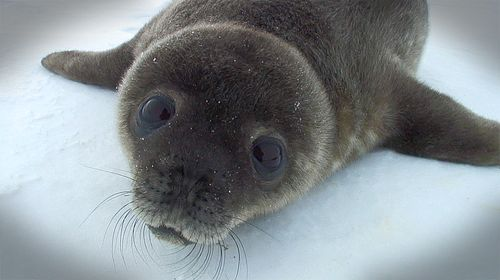 Seal_pup-looking-up