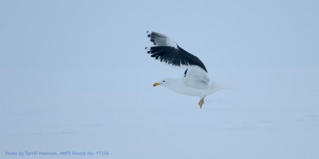 Kelp_gull